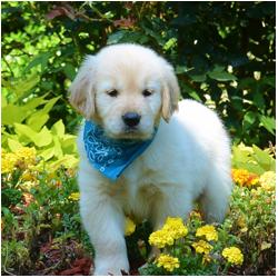 Golden Retriever Puppy for Sale in Covington LA