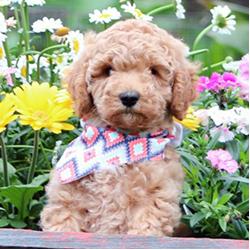 Mini Micro Golden Doodle Puppies