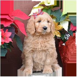 Standard Golden Doodle Puppies
